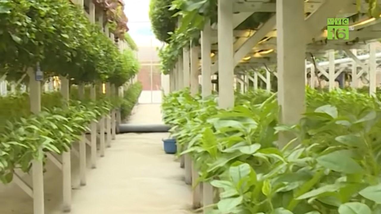 trồng rau thủy canh nhà kính